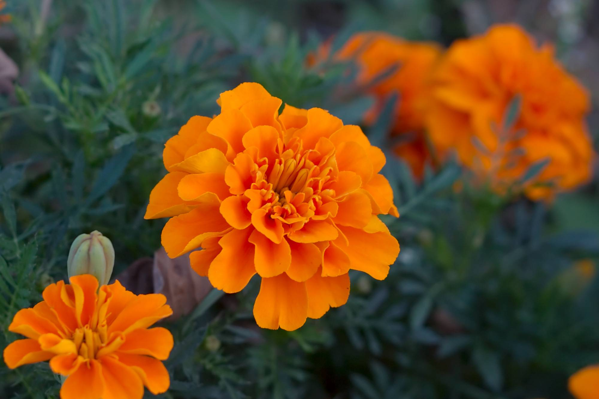 Marigolds The Magnificent Birth Flower October