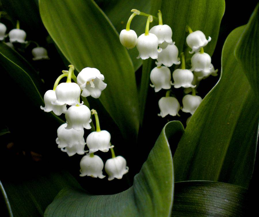 lily of the valley the flower of may avas flowers. Black Bedroom Furniture Sets. Home Design Ideas