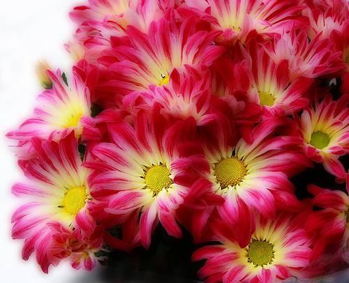 Chrysanthemum, The