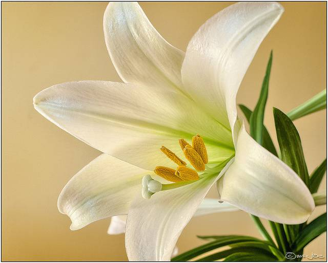 6 popular flowers for easter avas flowers the flower is symbolic of love hope and purity there is a myth that lilies grew where drops of christs blood fell as he hung on the cross mightylinksfo