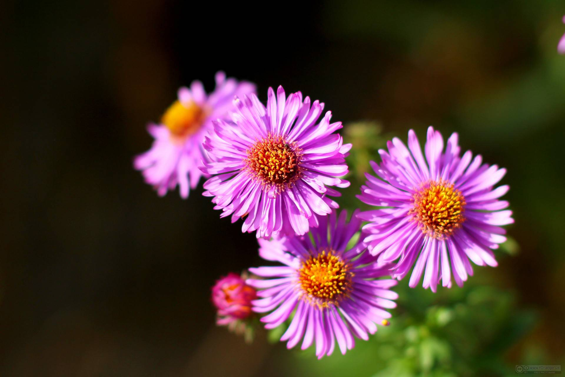 September s Birth Flower The Adorable Aster