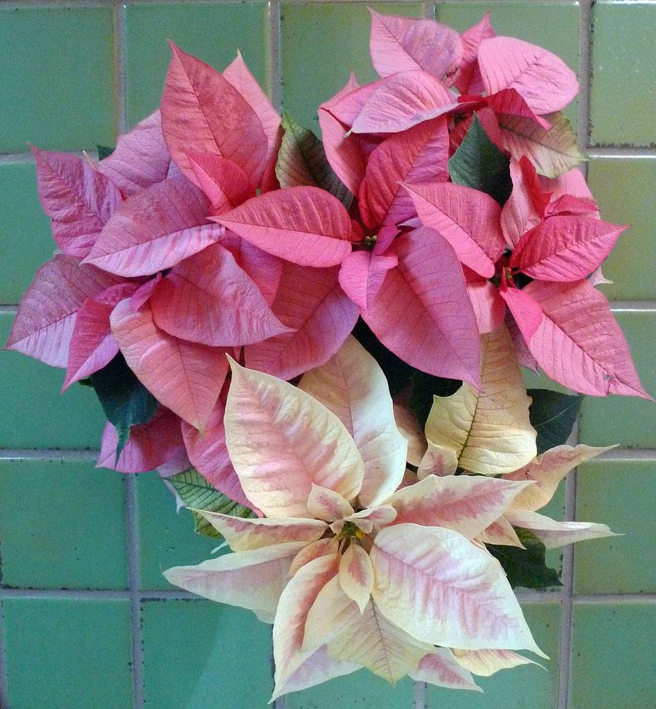 Decembers Birthflower The Festive Poinsettia Avas Flowers