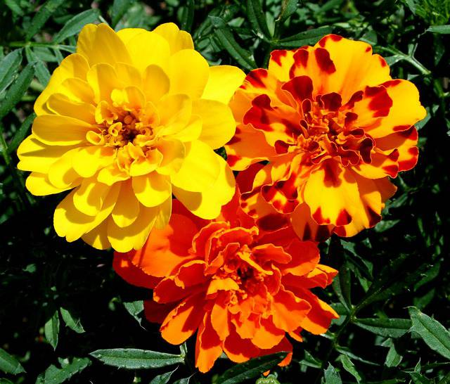 marigolds the magnificent birth flower of october
