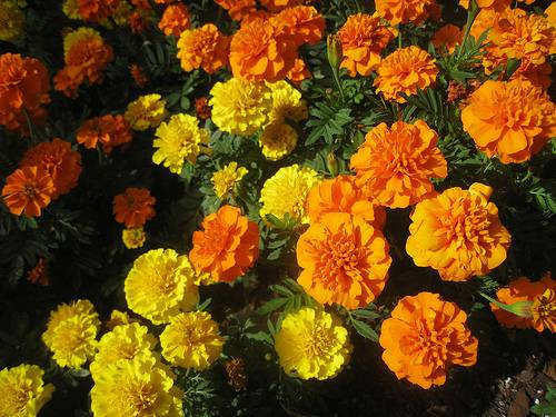 common marigolds are native to mexico and the flowers are traditionally a mix of red and orange ruffled petals but can be orange yellow red cream