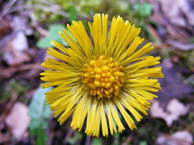 Native plants of ireland avas flowers tussilago relates to the latin word tussere which means to cough this flower is the main ingredient in an herbal remedy for sore throats and coughs mightylinksfo