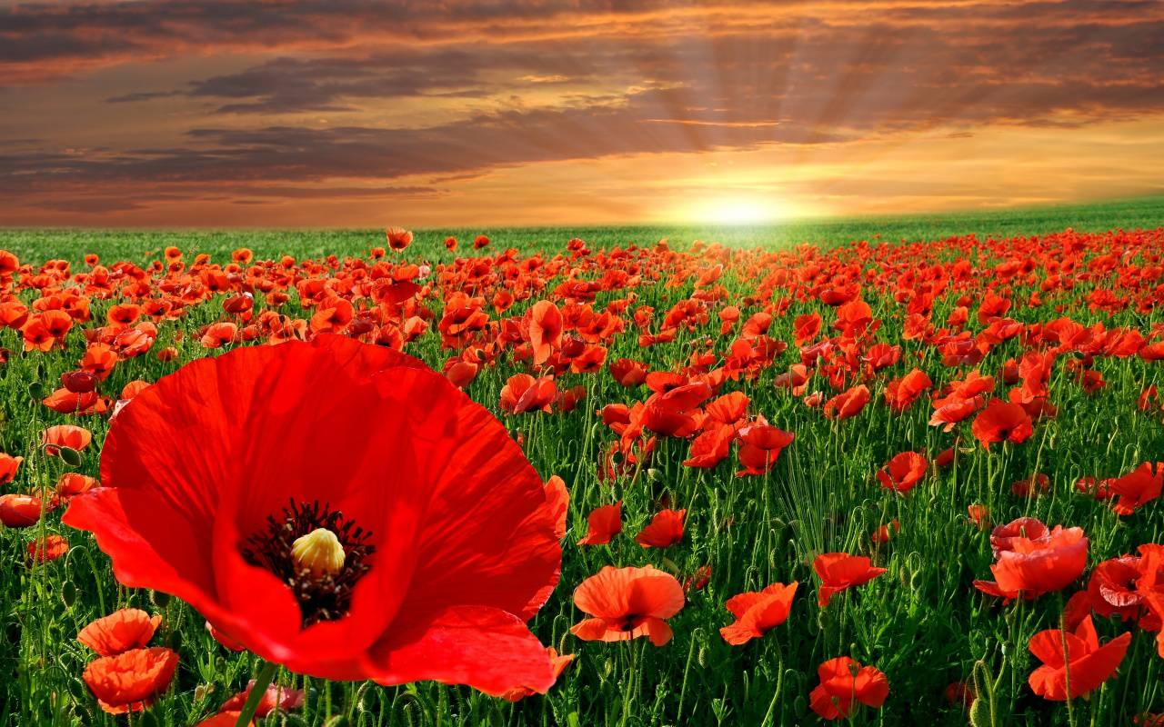 The Poppy Flower And Its Significance To Memorial Day Avas Flowers