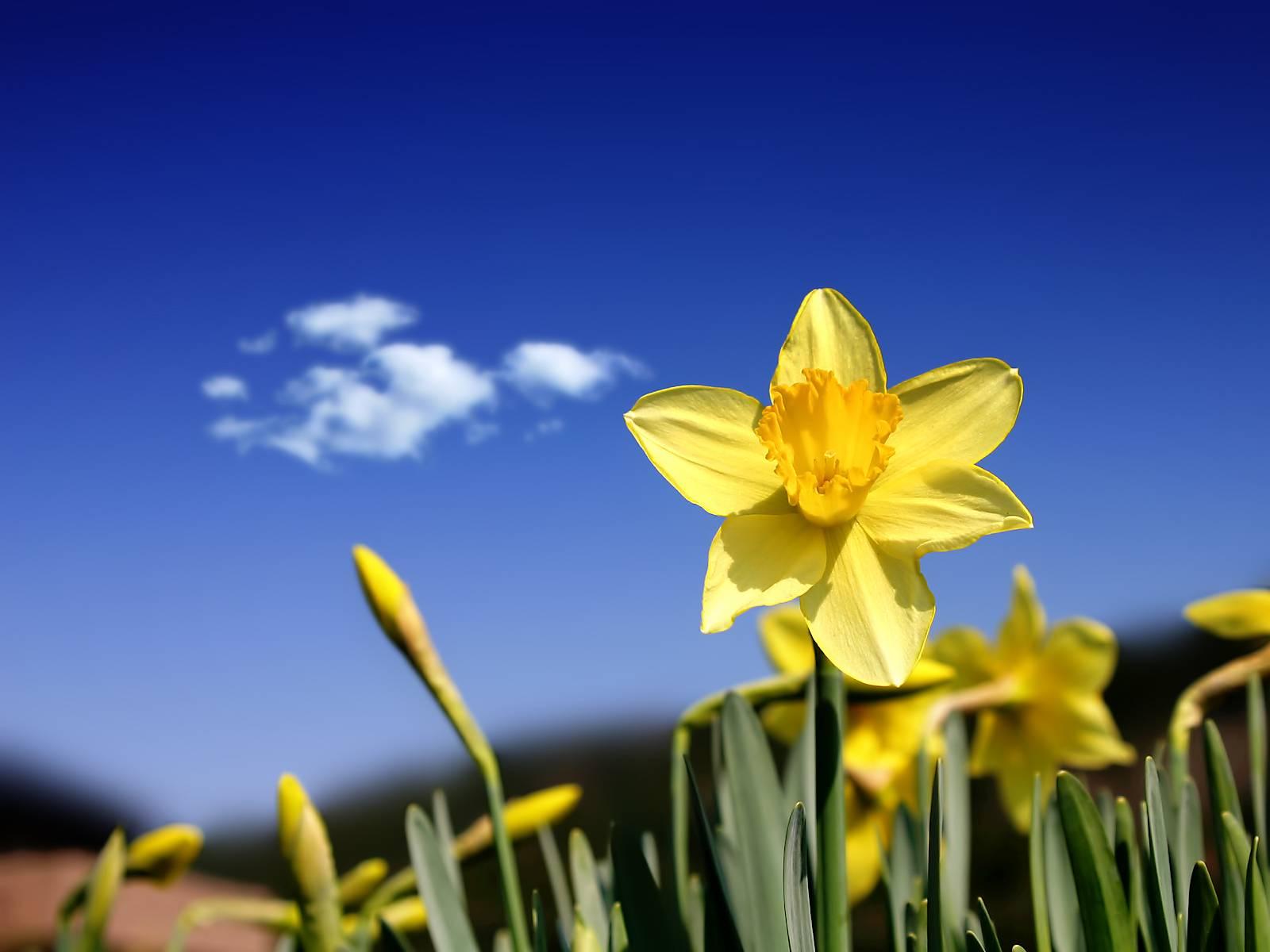 celebrating spring u0027s first flower the daffodil avas flowers