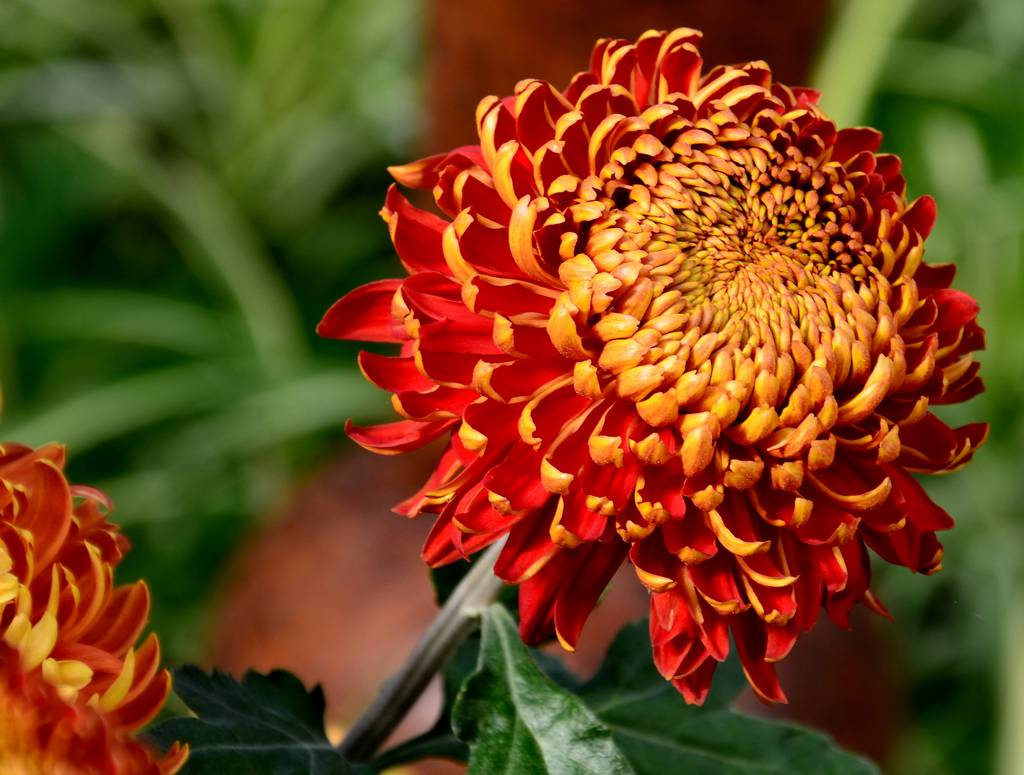 November S Birthflower The Colorful Chrysanthemum Avas