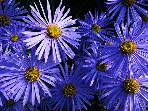 profile of the aster flower  the birth flower for september, Beautiful flower